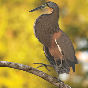Male Tiger Heron