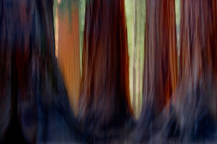 Giant Sequoias, Mariposa Grove, Yosemite National Park, California 2007
