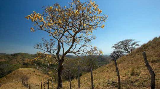 Yellow TreeIn Bloom. Costa Rica