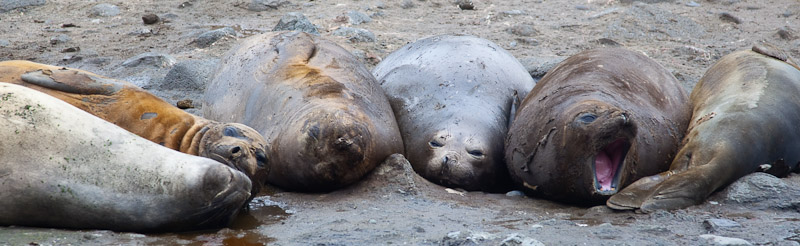 Elephant Seal Exfoliation