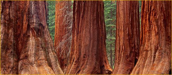 Giant Sequoia Trees Mariposa Grove 1993