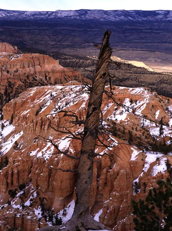 Toosie Roll Tree - Bryce Canyon