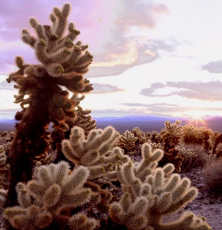 Cholla Garden at Sunrise