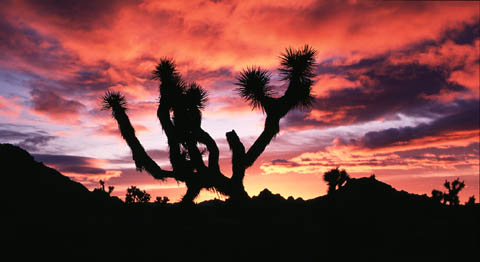 Joshua Tree National Park Luminous Landscape