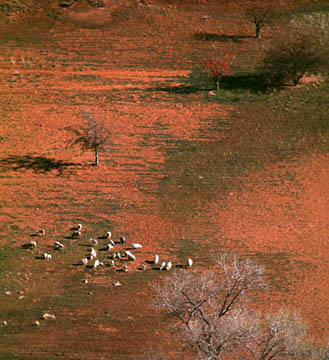 Sheep from Above