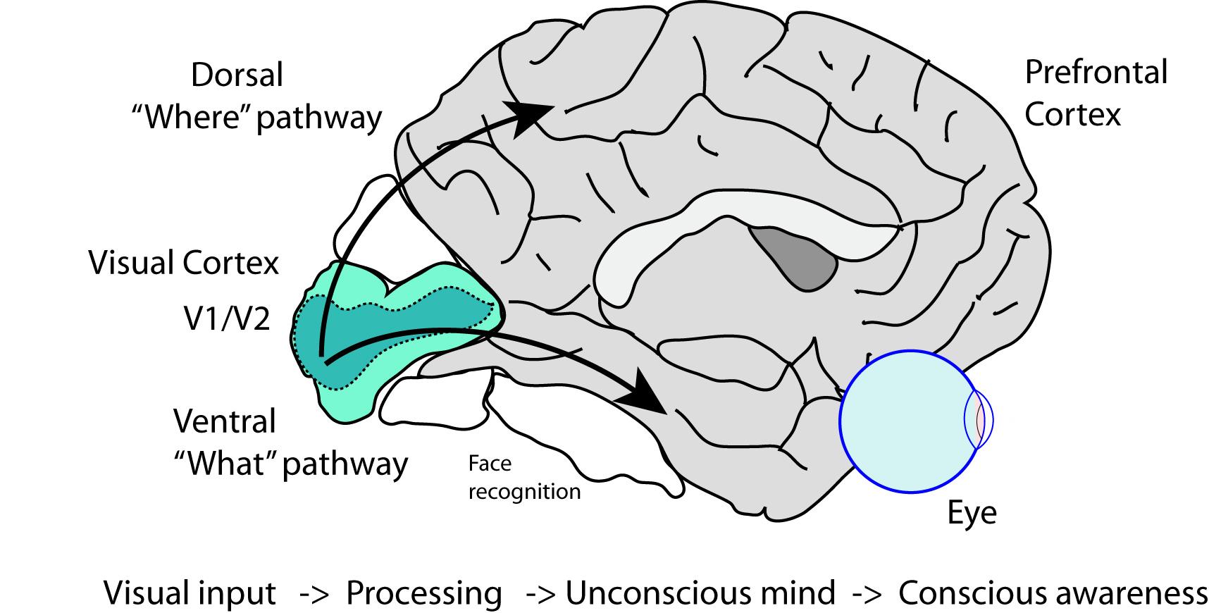 visual cortex | Cogito ergo sum |Visual Cortex