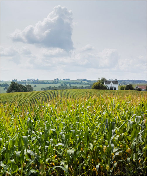 Corn and Clouds. Clearview, Ontario. August, 2014