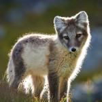 HP-Arctic-Fox_DSC9511