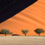 Large Acacia trees dwarfed by a dune in golden sunset light. Namib Naukluft Park, Namibia.