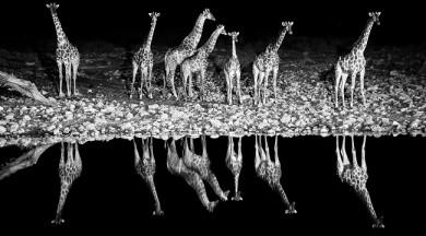 Giraffe Symphony - Namibia - A group of giraffes reflected on the waterhole of Okaukuejo during the night, Etosha National park, Namibia, Africa