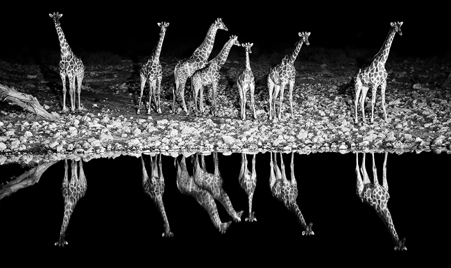 Giraffe Symphony - Namibia - A group of giraffes reflected on the waterhole of Okaukuejo during the night, Etosha National park, Namibia, Africa