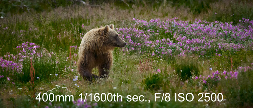 Bear in a field of flowers