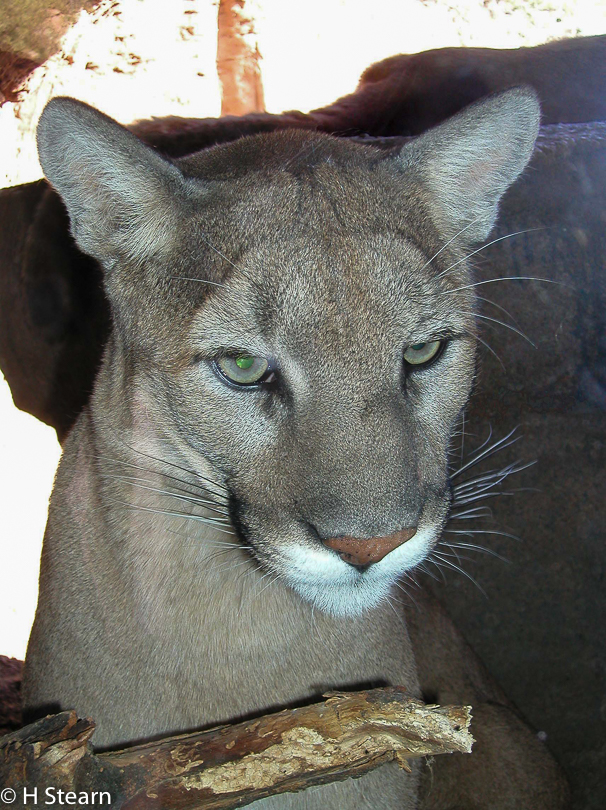 """Young Cougar"", 4 MP capture"