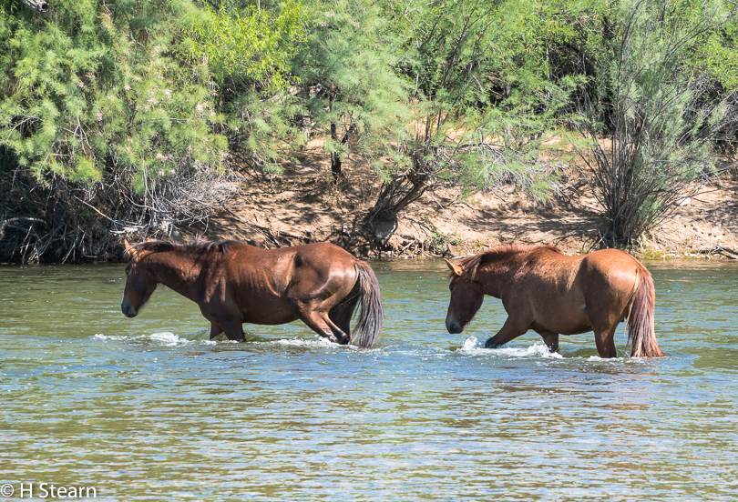 Wild Horses of Salt River, Crossing the River