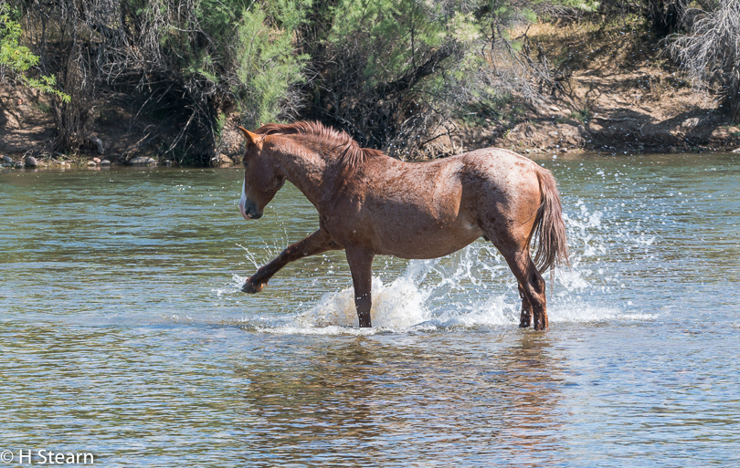 Wild Horses of Salt River, Water Play
