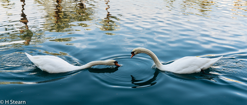 """Swan Lake"" (Sony A7r M2, 42 MP down to 22MP)"