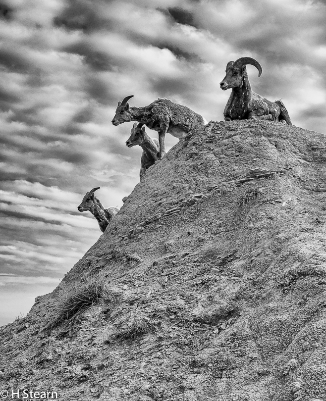 """On High Alert"" Bighorn Sheep, South Dakota"