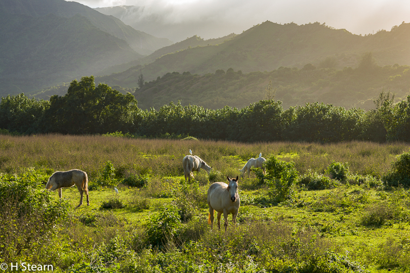 """Horses and Cattle Egrets"", Kauai, HI"