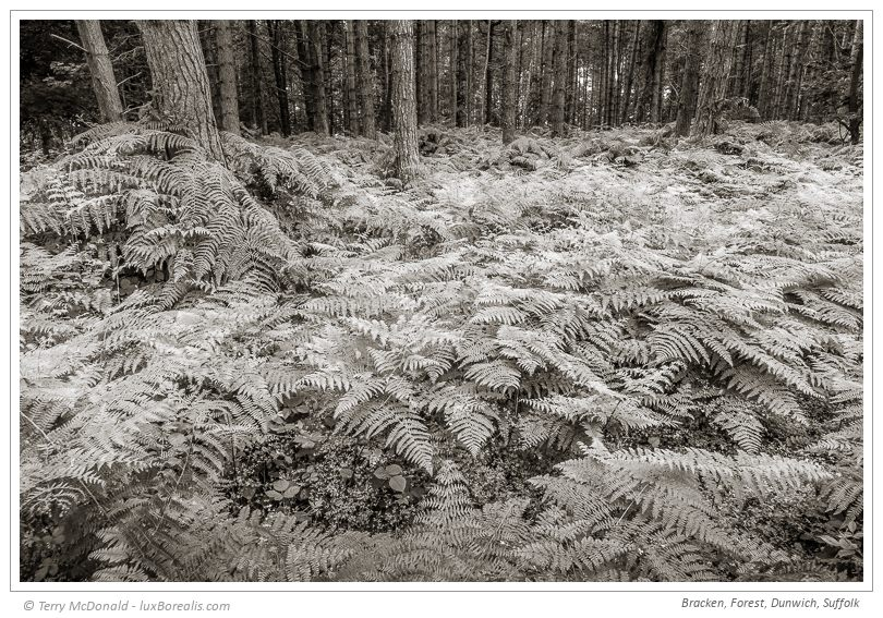 "Bracken, Forest, Dunwich, Suffolk – 24mm (equiv.) ƒ5.6@1/30 ISO100 EV–⅔ w/Polarizing filter To me, landscape photography demands maximum depth-of-field to maintain focus and acutance from foreground to background; ƒ5.6 is the ideal balance for the 1""sensor of the Sony RX10iii. It's not always possible or practical to have 5kg of FF gear plus a tripod, so the RX10iii is an amazing substitute – even hand-held at 1/30th!"