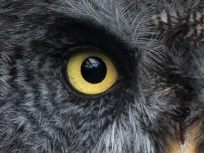 Great Grey Owl (Strix nebulosa)-100%