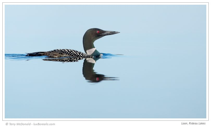 Loon, Rideau Lakes – 600mm ƒ4@1/1000 ISO80 EV0