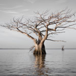Cypress Trees Of Louisiana