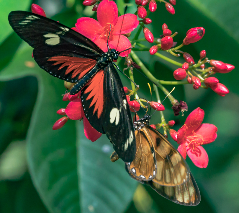 """Red Birdwing Butterfly H Stearn"