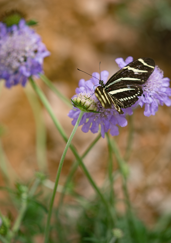 """Zebra Longwing, Botanical Gardens, 200mm at f4.0"" H Stearn"