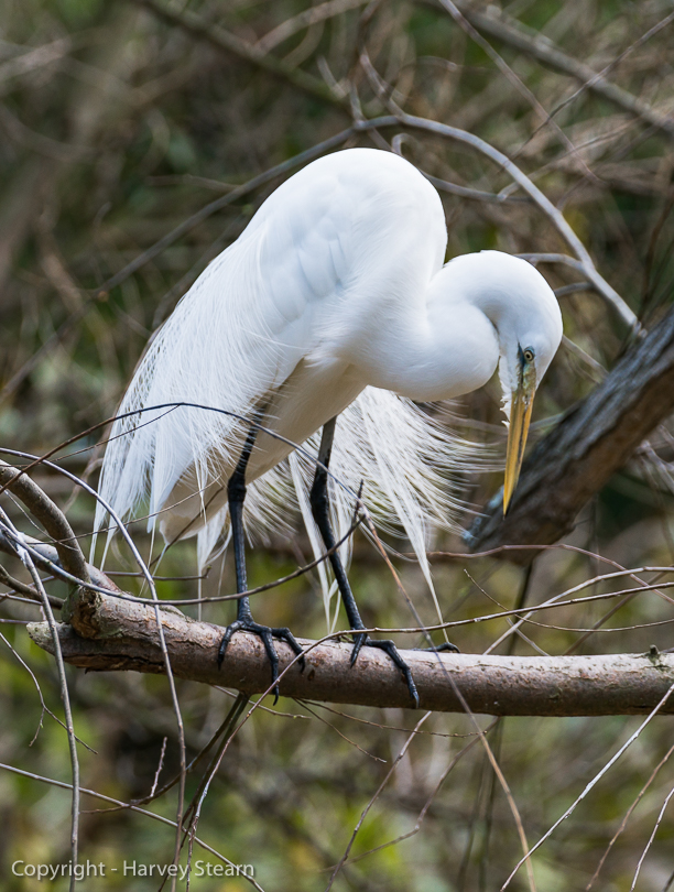 """Wild Great Egret, San Diego Zoo"" H Stearn"