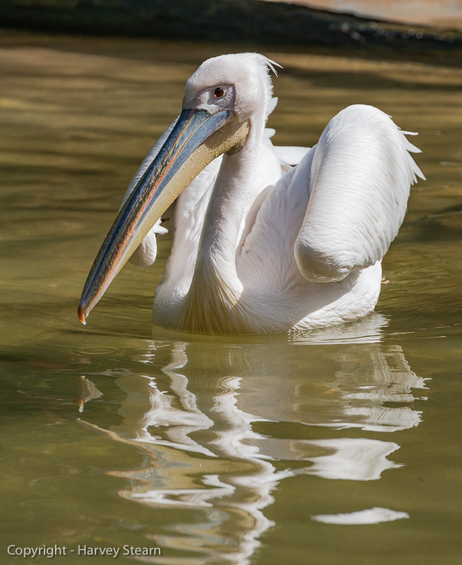 """Great White Pelican, San Diego Zoo"" H Stearn"