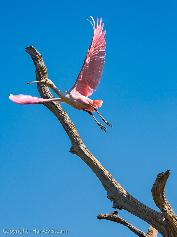 """#5 – Rosiette Spoonbill Taking Off"" H Stearn"