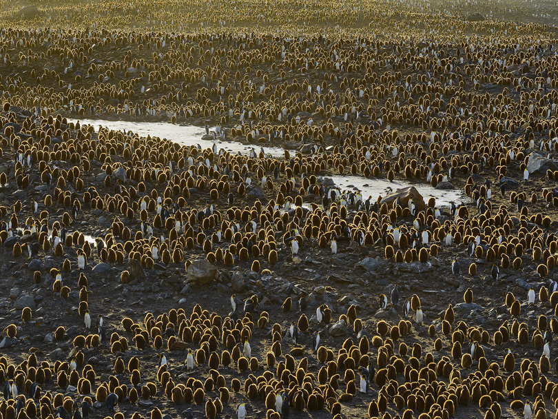 King Penguin Colony, St. Andrews Bay, South Georgia