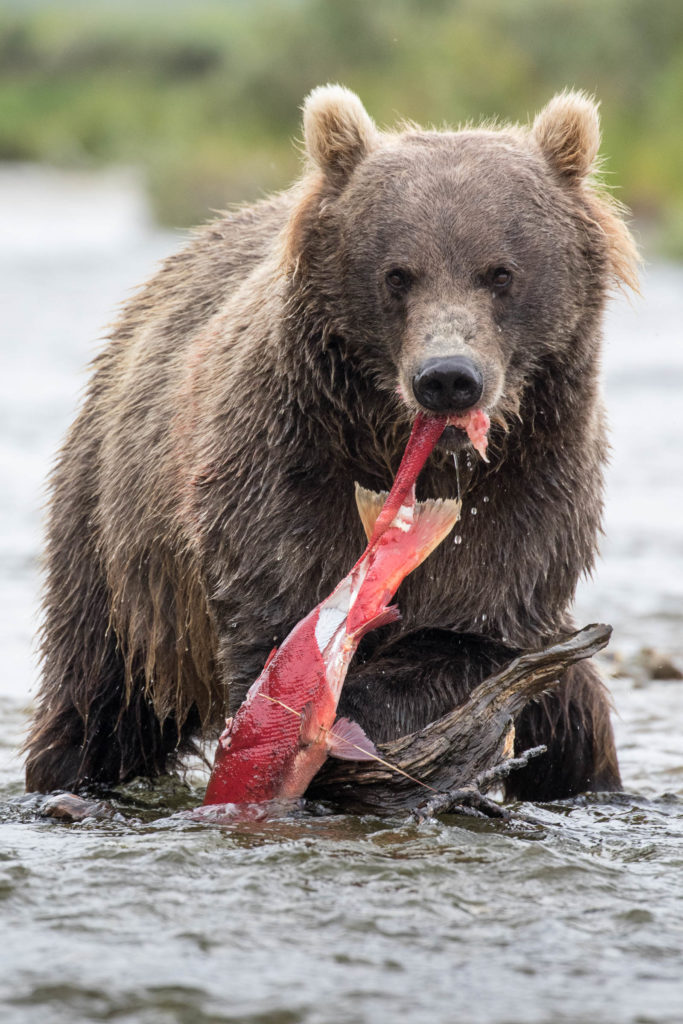 An Alaskan brown bear eats the salmon it caught while fishing in a river in the Katmai National Preserve. These bears travel in from the Alaskan coast each year for the salmon run - when sockeye salmon make them way in from the ocean to the rivers to spawn.