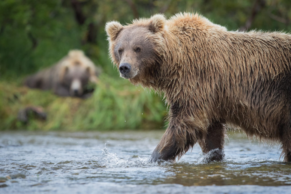A Brown Bear (Ursus arctos) walks through the river as a bear sleeps on the distant bank in Katmai National Park, Alaska.