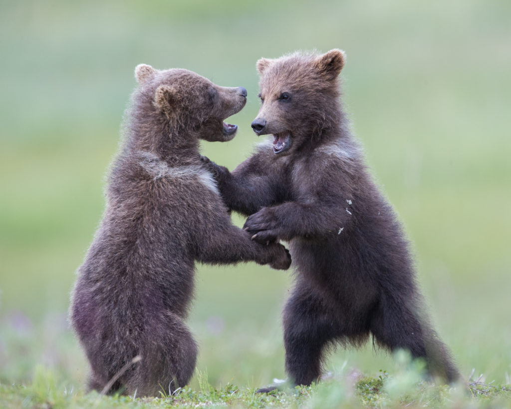 Two Brown Bear cubs (Ursus arctos) play fight on the tundra in Katmai National Park, Alaska