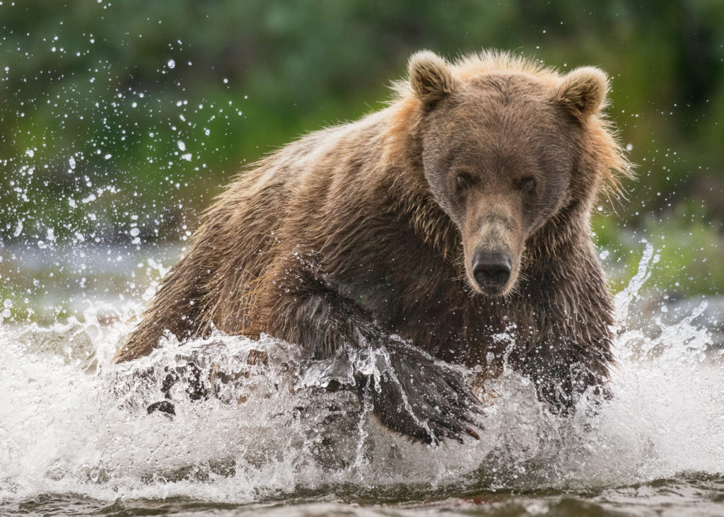 A Brown Bear (Ursus arctos) chases a Chinook Salmon up the river in Katmai National Park, Alaska.