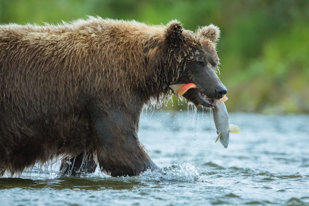 A Brown Bear (Ursus arctos) walks through the river with a Sockeye Salmon (Oncorhynchus nerka) in Katmai National Park, Alaska