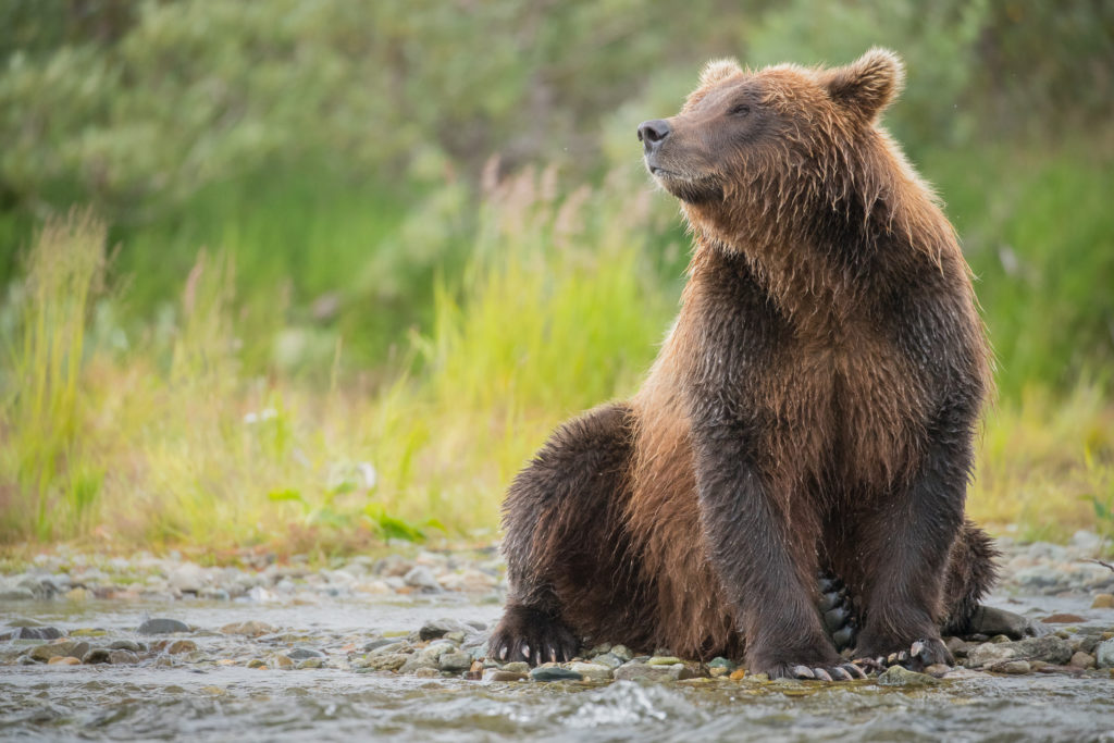 Brown Bear (Ursus arctos) portrait in Katmai National Park, Alaska.