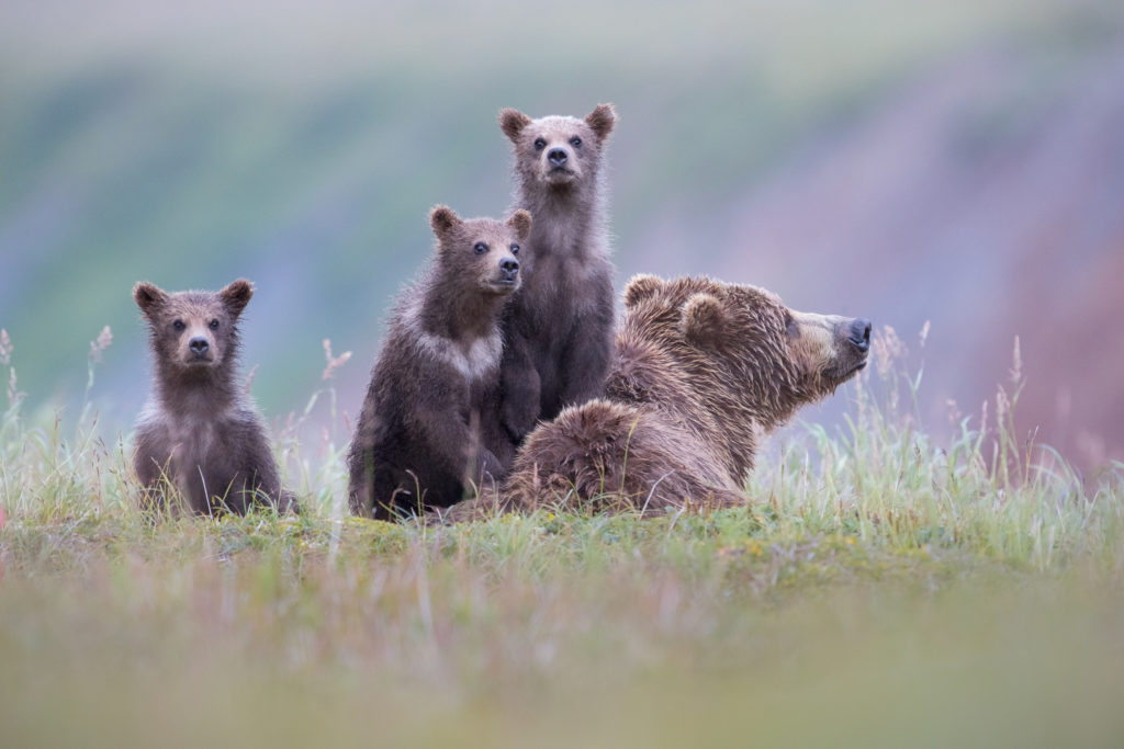 A Brown Bear (Ursus arctos) sow and cubs stare curiously in Katmai National Park, Alaska.