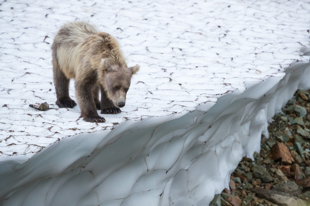 Brown Bear on the edge of a snow pack.