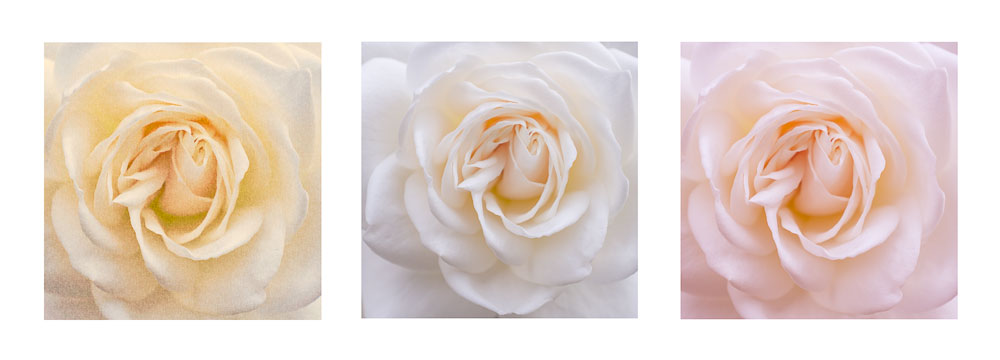 Roses Triptych #2 –rectangular images