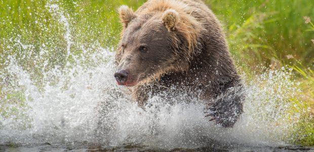 Bear Running Through Water