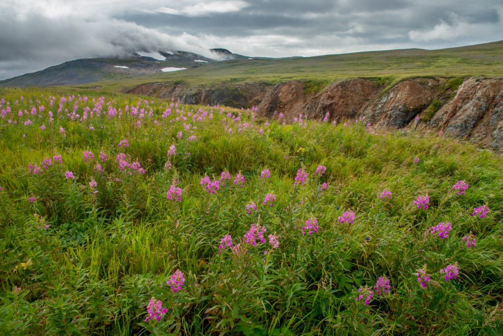 Fireweed (Chamerion angustifolium) blooming in the open Alaskan landscape.