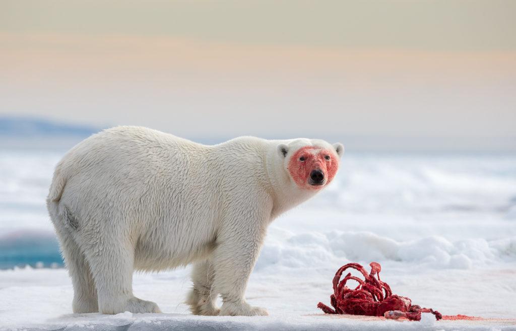 Svalbard. Bear With A Kill.