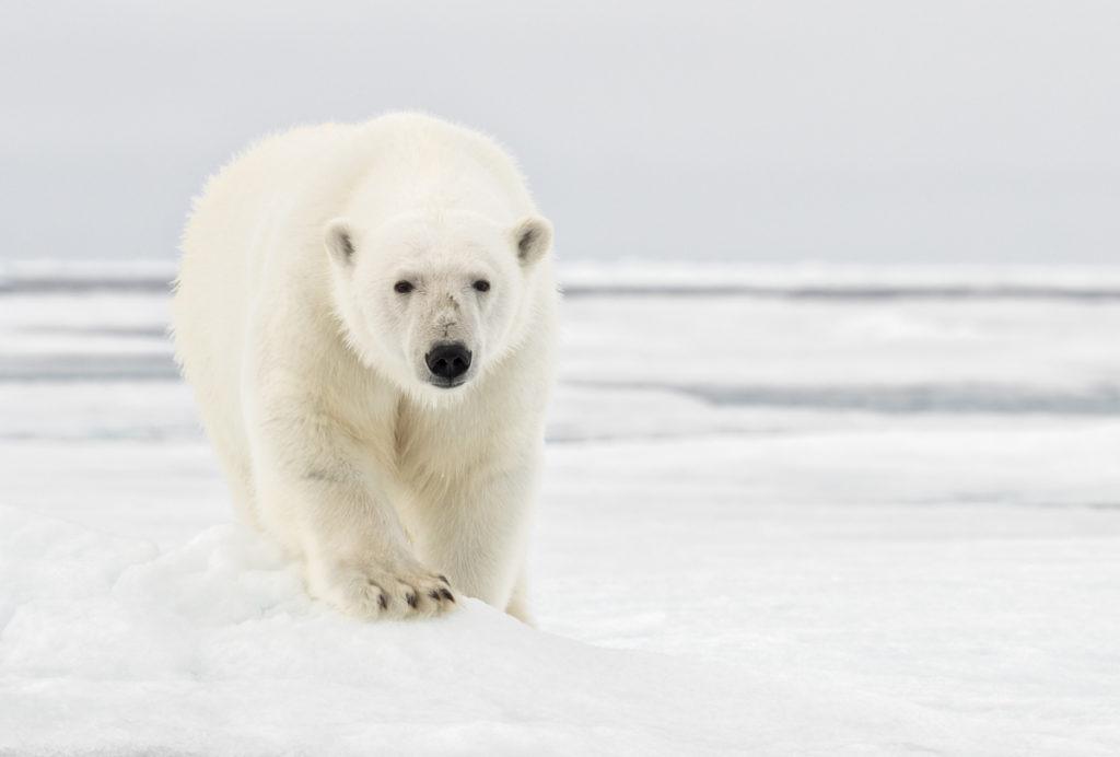 Svalbard. Eye Contact.