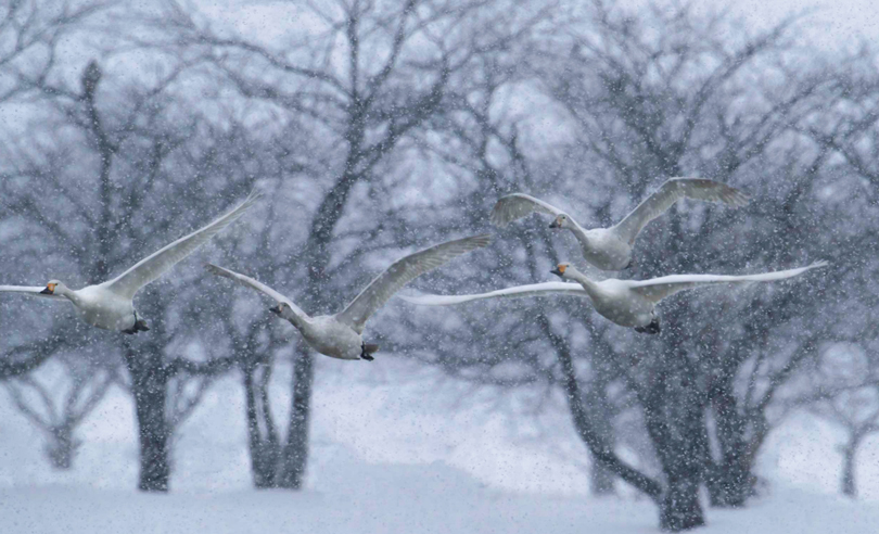 Japanese Whopper Swans-In Flight During Snow Storm