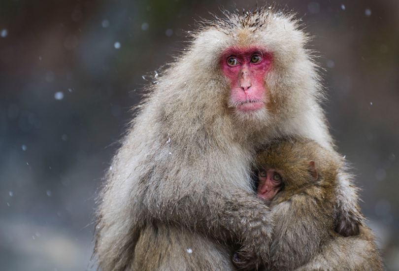 Mother And Child Snow Monkeys. Japan