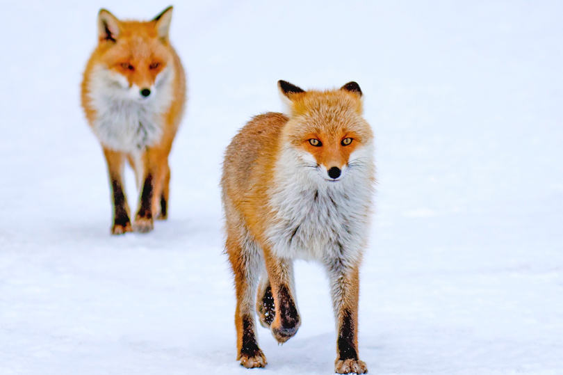Pair Of Red Foxes. Shibetsu, Japan