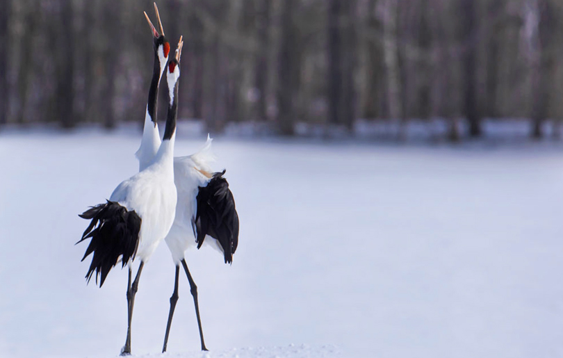 Red-Crowned Cranes, Singing. Akan, Japan