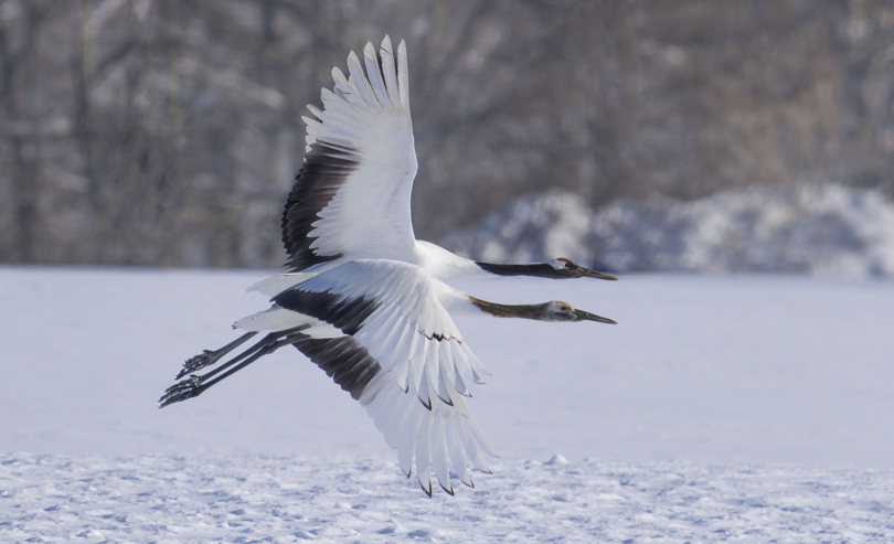 Red-Crowned Cranes. Akan International Crane Center. Kushiro, Japan